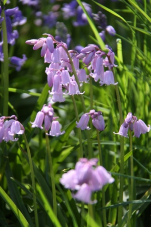 Flowers are wider and pale blue or pink