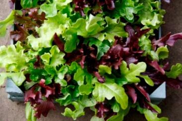 Lettuce 03