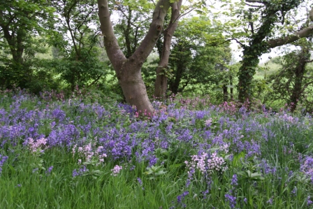 Mixed Bluebells