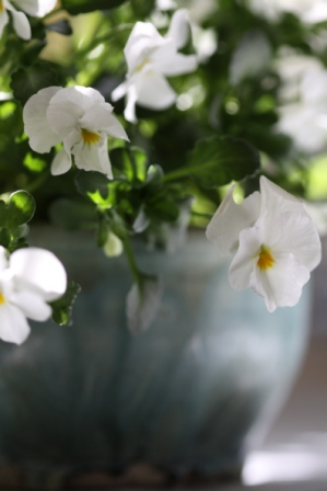 White Violas 2