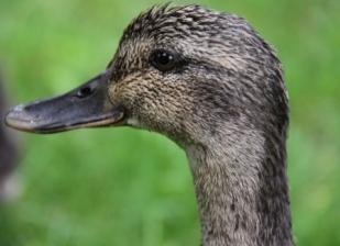 Mother Duck 01
