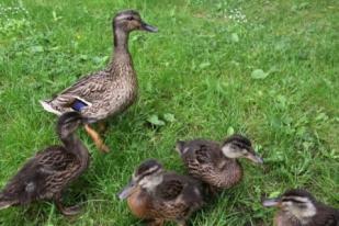 Mother Duck 02