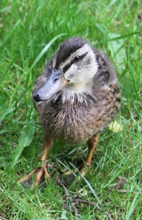 Mother Duck 04