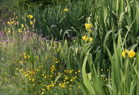 Pond Iris 01