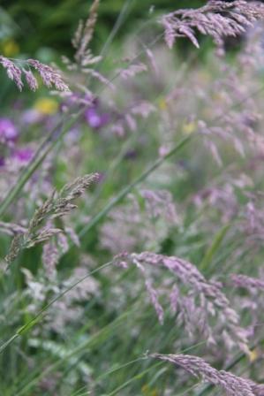 Pond Iris 05