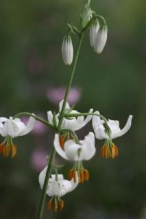White Martagon Lily 01
