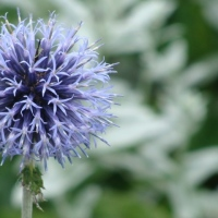 Echinops ritro is great for bees