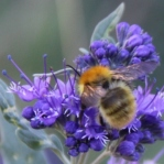 Bee collecting pollen from Caryopteris flower