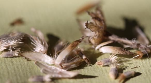 Cornflower seeds 02