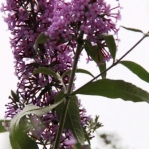Buddleja for Cuttings