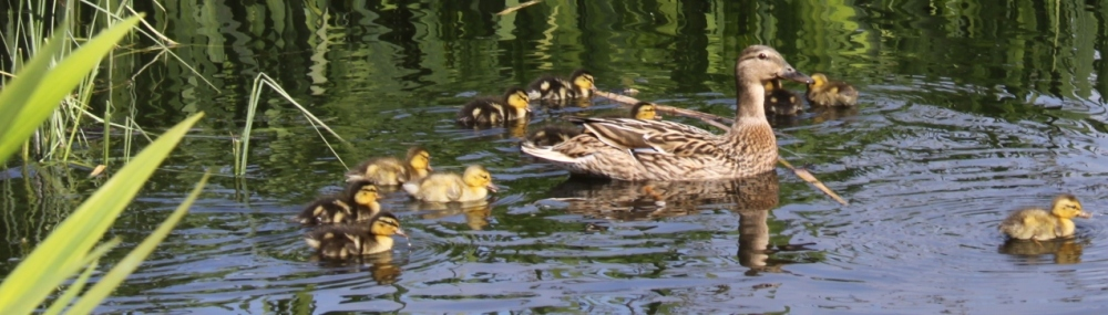 Ducklings Header