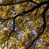 English Oak Trees