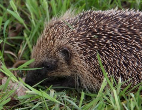 Hedgehog 03