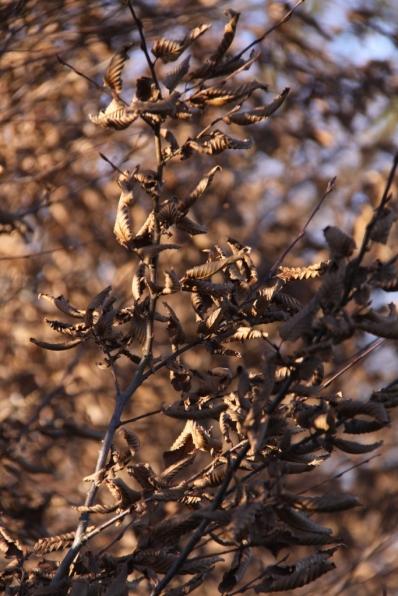 Hornbeam hedge in winter