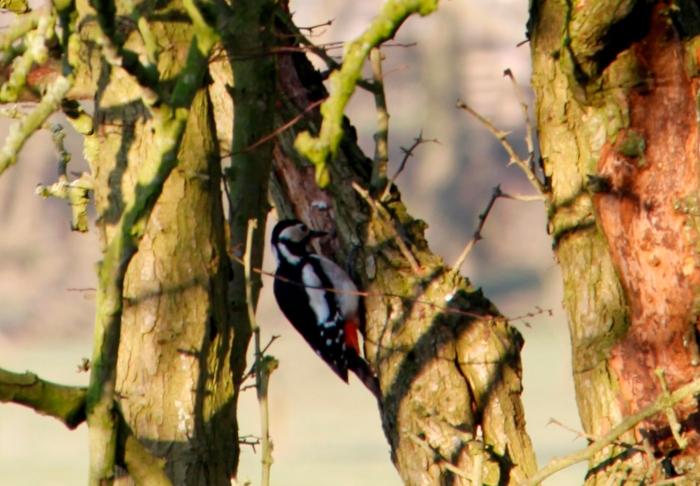 Woodpecker 01