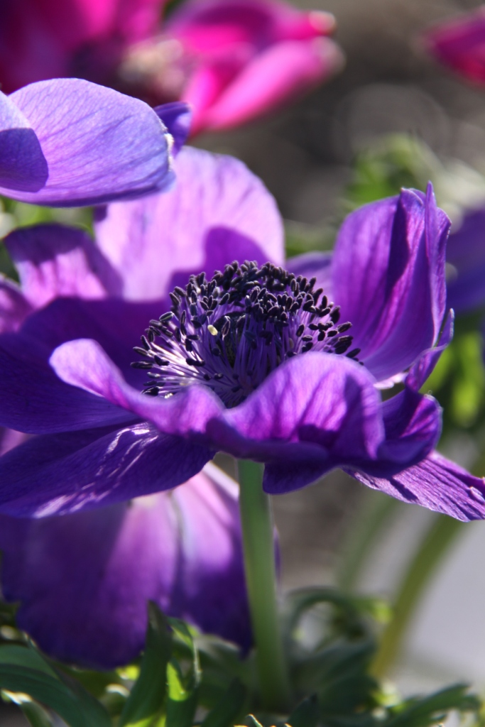 anemone coronaria country garden uk. Black Bedroom Furniture Sets. Home Design Ideas