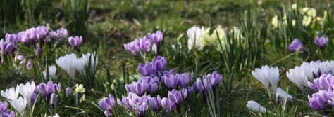 Crocus and Primroses