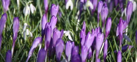 Crocus and Snowdrops