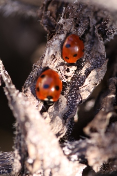 Ladybirds sunbathing