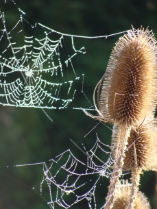 Dipsacus fullonum with spiders webs