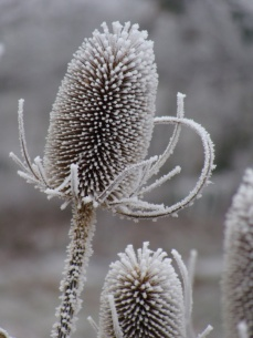 Dipsacus fullonum in winter