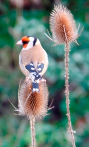 Goldfinch 01