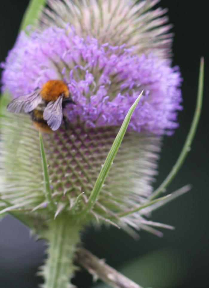 Bee on Teasel