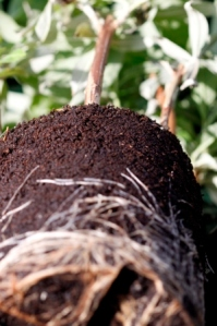 Buddleja Cuttings Roots