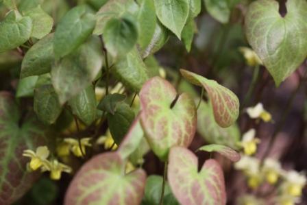 Epimedium Foliage