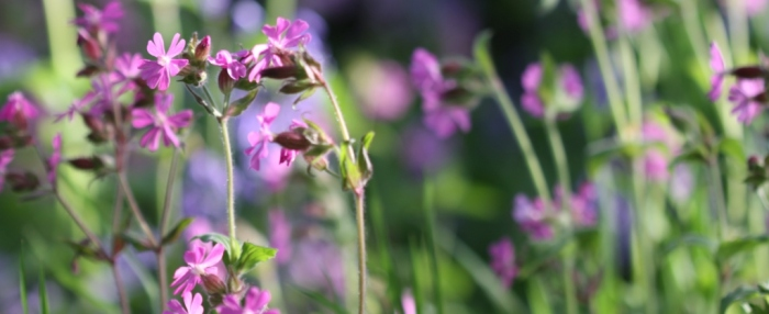 Early Morning Red Campion 005 - Copy