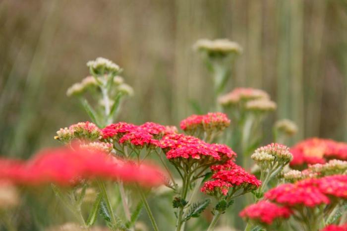 Achillea & Grasses