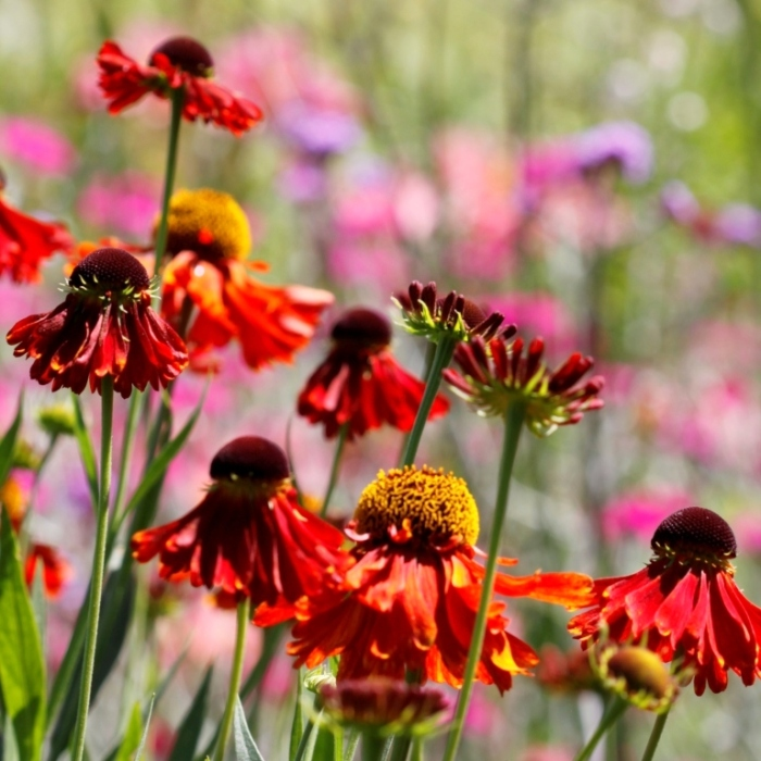 Helenium in Summer Border