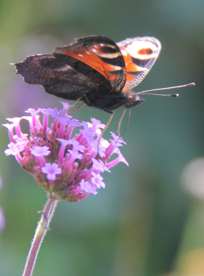 Butterfly Feeding on Verbena