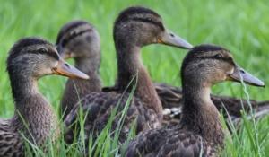 Duckling Thumbnail