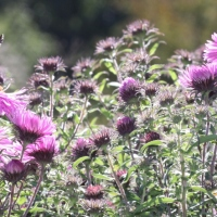 Asters for Autumn