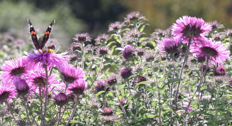 asters-with-butterfly-header
