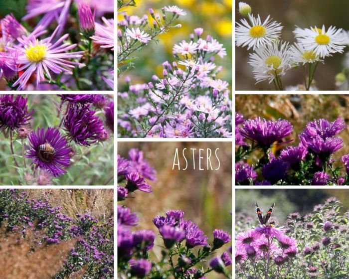 asters-collage