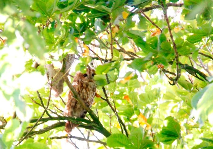 Owls 02