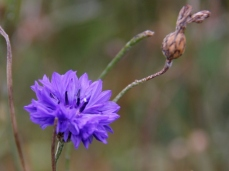 annual-cornflowers-oct