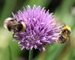 Bees-feeding-on-Chives