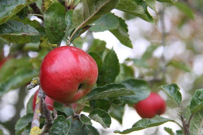 Bramley-fruit