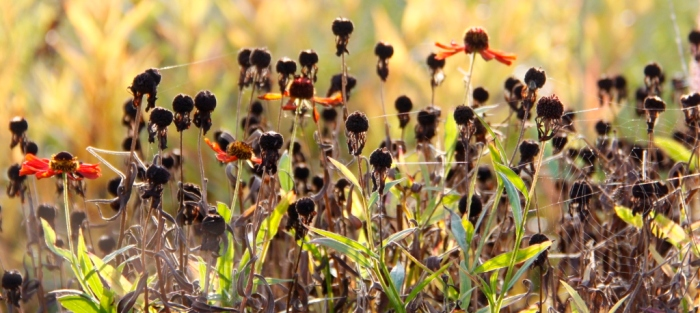 helenium-heads-with-cobwebs