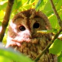 Owls Thumbnail