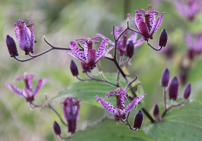 tticyrtis-formosana-flowers