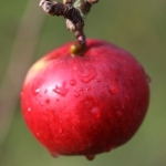 Bramley-Apple-Thumbnail