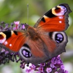 Butterfly-Thumbnail