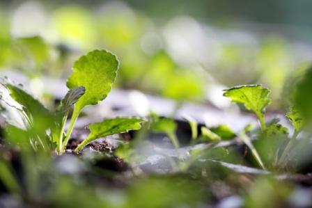 daisy-seedlings