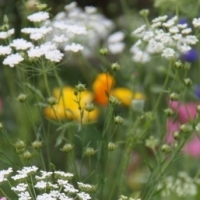 Free Wildflower Seeds