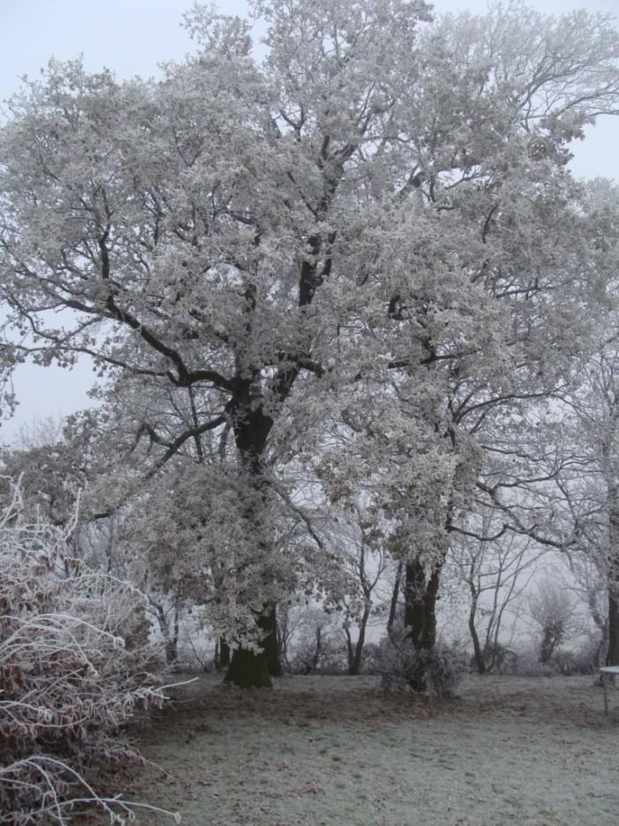 Frosty-Oak-Trees