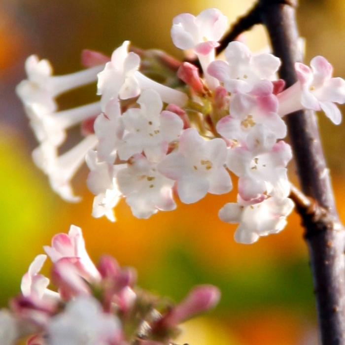 Viburnum-Dawn-Blossom